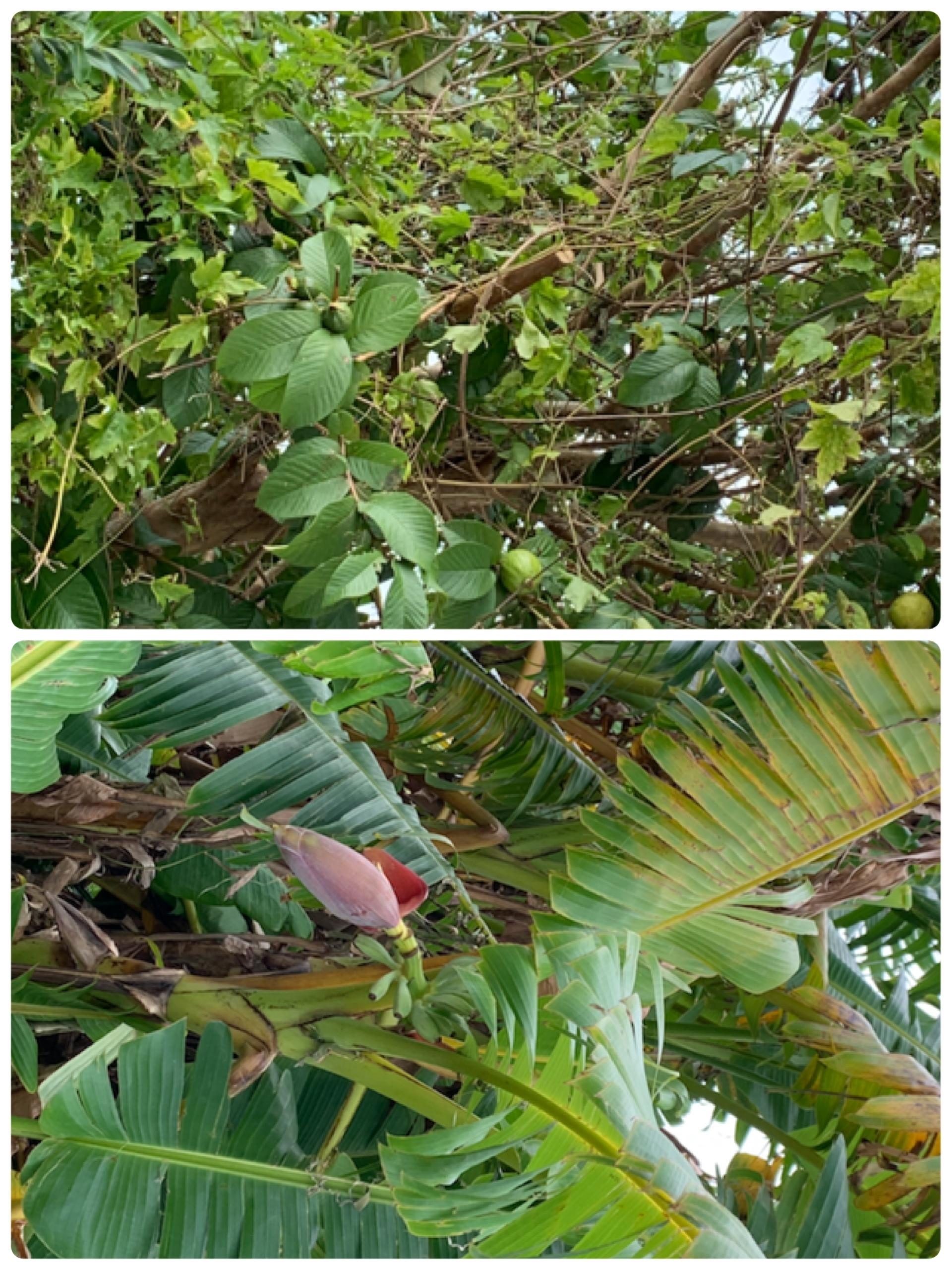 グヮバの木&赤ちゃんバナナ