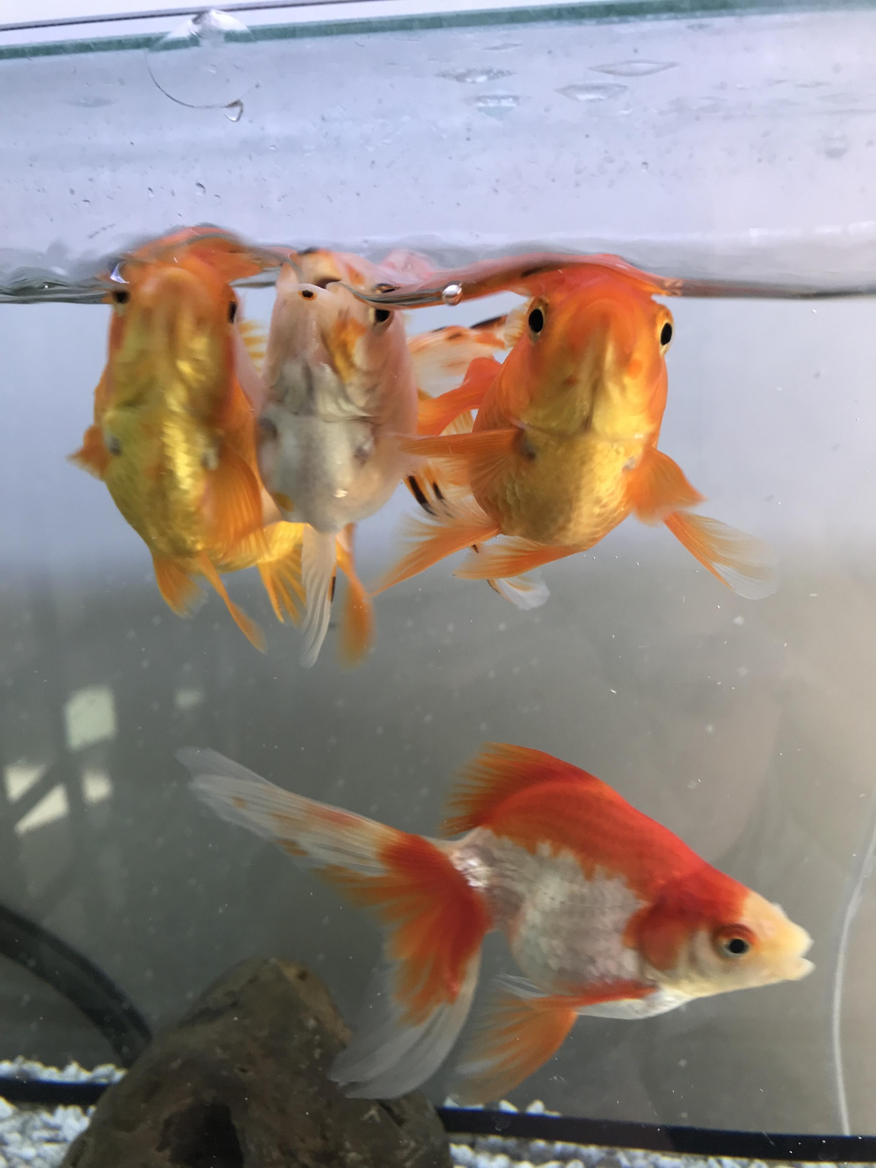 食欲旺盛な金魚